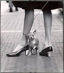Chihuahua and Pappagallo shoes, New York, NY, 1961<br/>